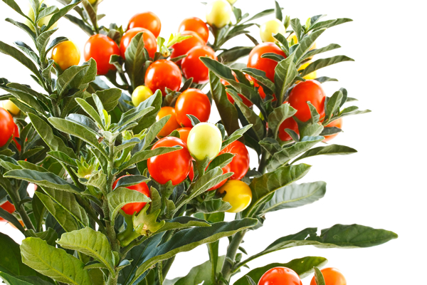 rastlina ašvaganda