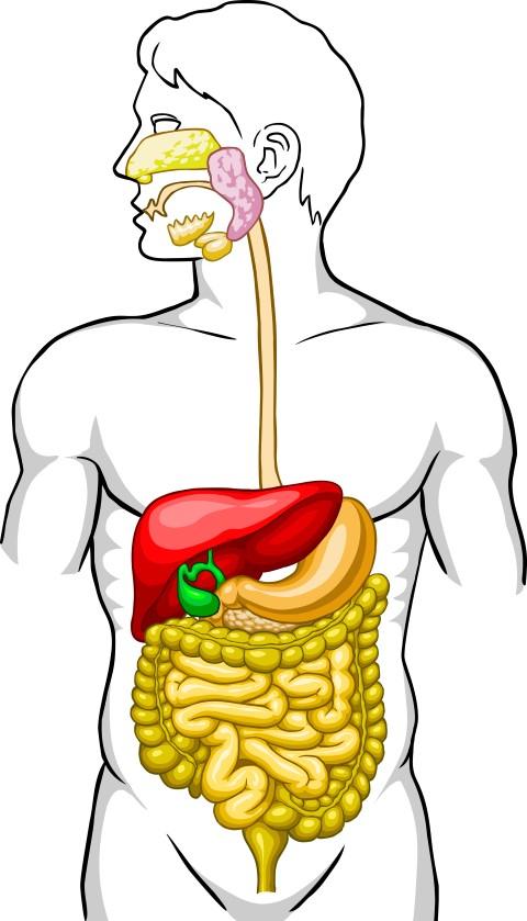 črevesje